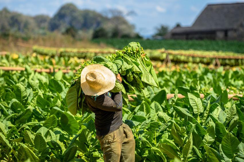 3 Campesino en una plantacion de tabaco del valle de Vinales